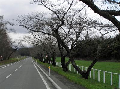 中丸桜並木(2011.4.24)