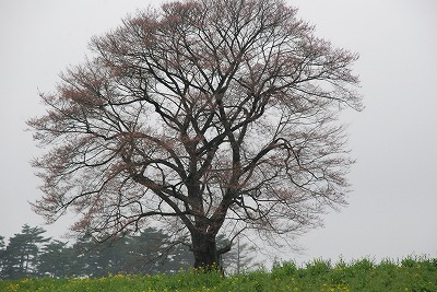 一本桜全景