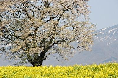 一本桜ズーム